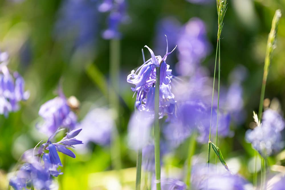 Bluebells in summer
