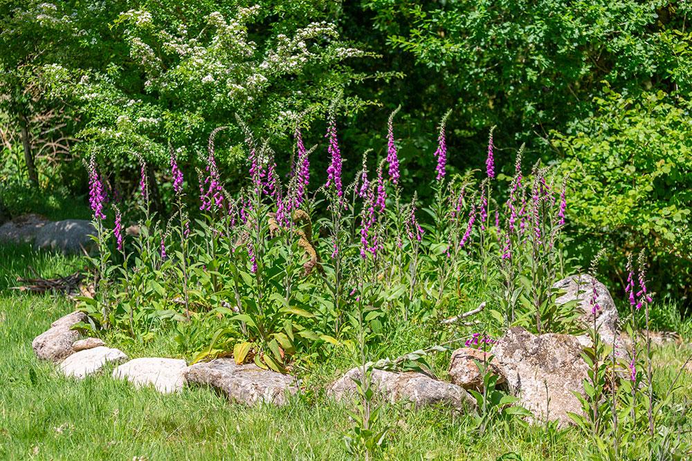 Foxgloves in summer