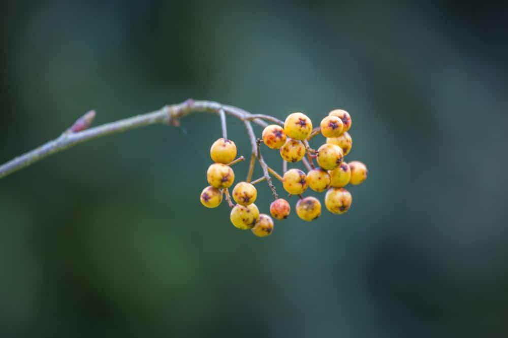 Berries in November