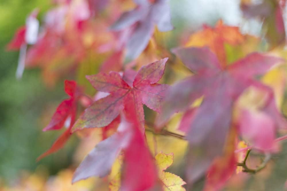 Maple leaves in November