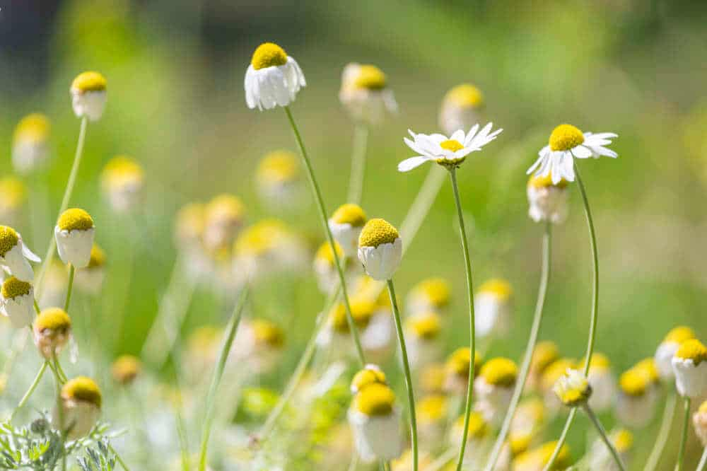 Ox Eye Daisies at Bala Brook
